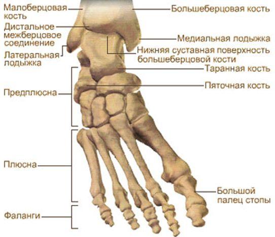последние годы больберцовой кости внизу ноги фанаты нот